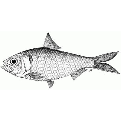 Fish of Bengal